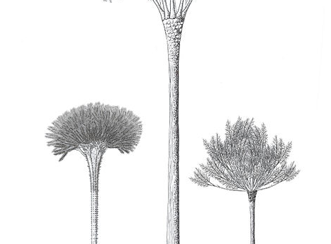 Artist's reconstruction of various members of the order Pseudosporachnales with the class Cladoxylopsida. Image by Falconaumanni, via Wikimedia Commons.